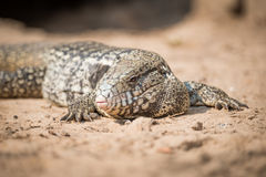 Close-up of common tegu lizard on ground Royalty Free Stock Photo