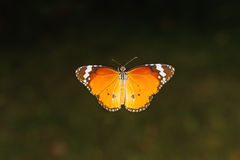 Close up Common Tiger butterfly (Danaus genutia) on branch Royalty Free Stock Image
