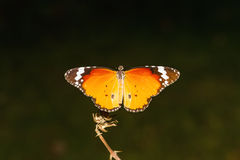 Close up Common Tiger butterfly (Danaus genutia) on branch Stock Image
