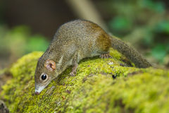 Close up of Common treeshrew. (Tupaia glis) in forest of Thailand Royalty Free Stock Images