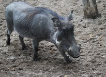 Common warthog, Phacochoerus africanus. Close up of in common warthog Stock Images