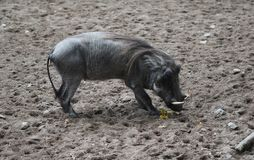 Common warthog, Phacochoerus africanus. Close up of in common warthog Royalty Free Stock Photography