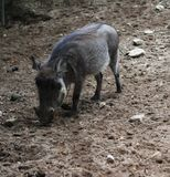 Common warthog, Phacochoerus africanus. Close up of in common warthog Royalty Free Stock Photo
