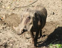 Common warthog, Phacochoerus africanus. Close up of in common warthog Stock Image