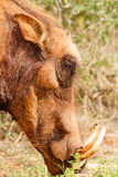 Close up of the common warthog eating Stock Images