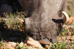 Close up of a common warthog nose in the ground. Close up of a common warthog nose eating grass in the ground Stock Photography