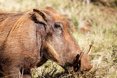 Close Up of The Common Warthog. Phacochoerus africanus - The common warthog is a wild member of the pig family found in grassland, savanna, and woodland in sub Royalty Free Stock Photography