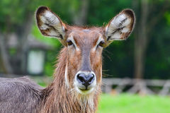 Close-up Common waterbuck (Kobus ellipsiprymnus). On blur background Stock Photography
