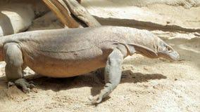 Big comodo dragon in the zoo. Close up of comodo dragon walk on the sand stock video