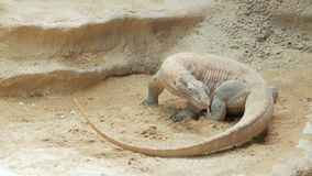 Big comodo dragon in the zoo. Close up of comodo dragon walk on the sand stock video footage