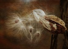 Milkweed silky seeds against brown background. Close up composition of asclepiad seed pods showing silky hair details royalty free stock photos