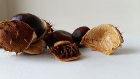 Close-up comum da medicina da planta do ponto da castanha do outono Imagens de Stock