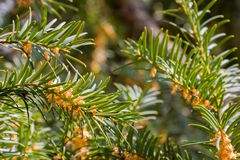 Close-up of conifer tree branches by spring Royalty Free Stock Photos