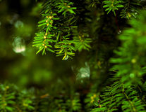 Close up of coniferous branches Royalty Free Stock Photo