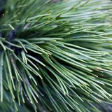 Close up of coniferous needles Royalty Free Stock Photos