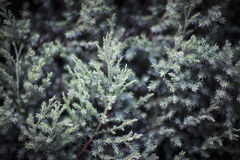Close-up of coniferous tree, Shanxi Province, China Stock Photo