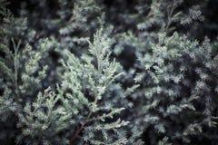 Close-up of coniferous tree, Shanxi Province, China Stock Photo