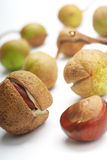 Close up of conkers on white. Close up of conkers and horse chestnut shells, isolated on white background Stock Photography
