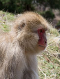 Close Up of Contemplative Snow Monkey Royalty Free Stock Images