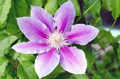 A close up contrasting image of a lilac-colored full-blown flower named clematis. And green leaves on the background royalty free stock photography