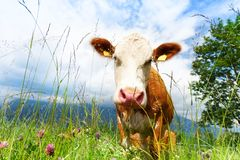Close-up of cool cow Royalty Free Stock Photography