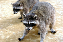 Close up coons Stock Photography