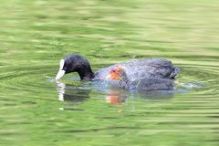 Coots in the water royalty free stock photos