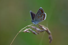 Close up with Copper butterfly Stock Images