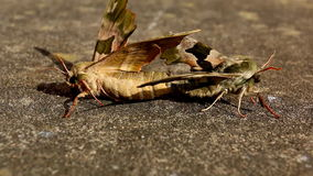 Close up of copulating butterflies. Close up of mating Lime Hawk moths, side view, low angle stock footage