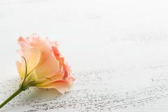 Close up cor-de-rosa amarelo da flor do eustoma Foto de Stock Royalty Free