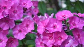 Close up cor-de-rosa bonito da inflorescência do flox Câmera statric video de HD filme