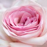Close-up cor-de-rosa da cor-de-rosa Fotografia de Stock Royalty Free