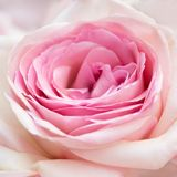 Close-up cor-de-rosa da cor-de-rosa Fotos de Stock Royalty Free