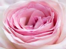 Close-up cor-de-rosa da cor-de-rosa Foto de Stock Royalty Free