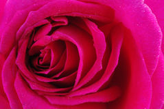 Close up cor-de-rosa da cor-de-rosa Fotografia de Stock Royalty Free