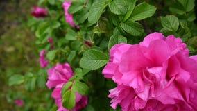 Close up cor-de-rosa da flor cor-de-rosa Imagens de vídeo por uma câmera estática vídeos de arquivo