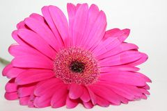 Close-up cor-de-rosa da margarida do Gerbera no fundo branco fotos de stock royalty free