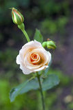 Close up cor-de-rosa da proposta Imagens de Stock Royalty Free