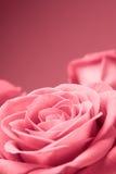 Close-up cor-de-rosa das rosas no fundo vermelho