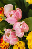 Close-up cor-de-rosa das tulipas das flores Vista superior Cocept do dia do ` s das mulheres, dia do ` s da mãe, dia do ` s do Va Imagem de Stock