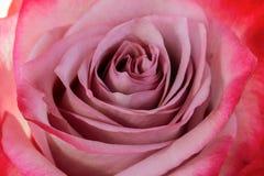 Close up cor-de-rosa de Rosa Fotos de Stock Royalty Free
