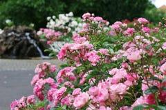 Close up cor-de-rosa do arbusto de rosas Imagens de Stock