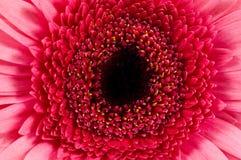 Close-up cor-de-rosa do gerbera Fotografia de Stock Royalty Free