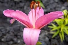 Close-up cor-de-rosa do lírio Foto de Stock Royalty Free