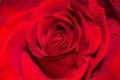 Close up cor-de-rosa do vermelho imagem de stock royalty free