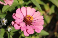 Close up cor-de-rosa do Zinnia Imagens de Stock