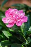 Close up cor-de-rosa fresco da flor da peônia Imagens de Stock Royalty Free