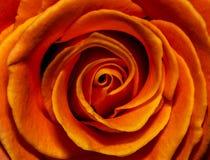 Close up cor-de-rosa impetuoso do botão Imagens de Stock Royalty Free