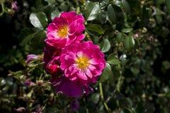 Close-up cor-de-rosa selvagem de Rosa Nuking com nascer do sol Foto de Stock Royalty Free