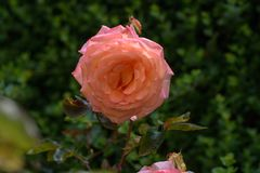 Beautiful rose in garden. royalty free stock photography